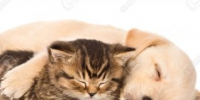 28243665-golden-retriever-puppy-dog-and-british-cat-sleeping-together-isolated-on-white-background-stock-photo - Ростов.РФ